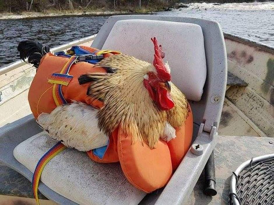 chicken-wearing-a-life-jacketshared-by-tosh-e-on-facebook.jpg.c10a05857acf98bdecf9058fb4dd3034.jpg