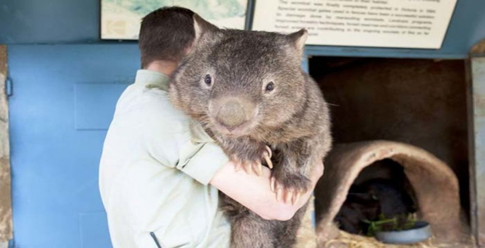 Wombat-the-Largest-of-his-species.thumb.jpg.73a5e6bea3482e001cc17dd5bbff79dd.jpg