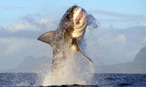 Great-white-sharks-off-Se-007.jpg