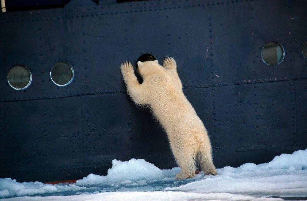 polar-bear-63866.thumb.jpg.3147b3b0009091426e8915c8749d4541.jpg