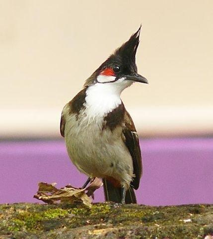 black-hooded-siskin-red-crested-cardinal-red-whiskered-bulbul-americanlisted_47825097.jpg.658a00051171232d717e0543a5d24305.jpg