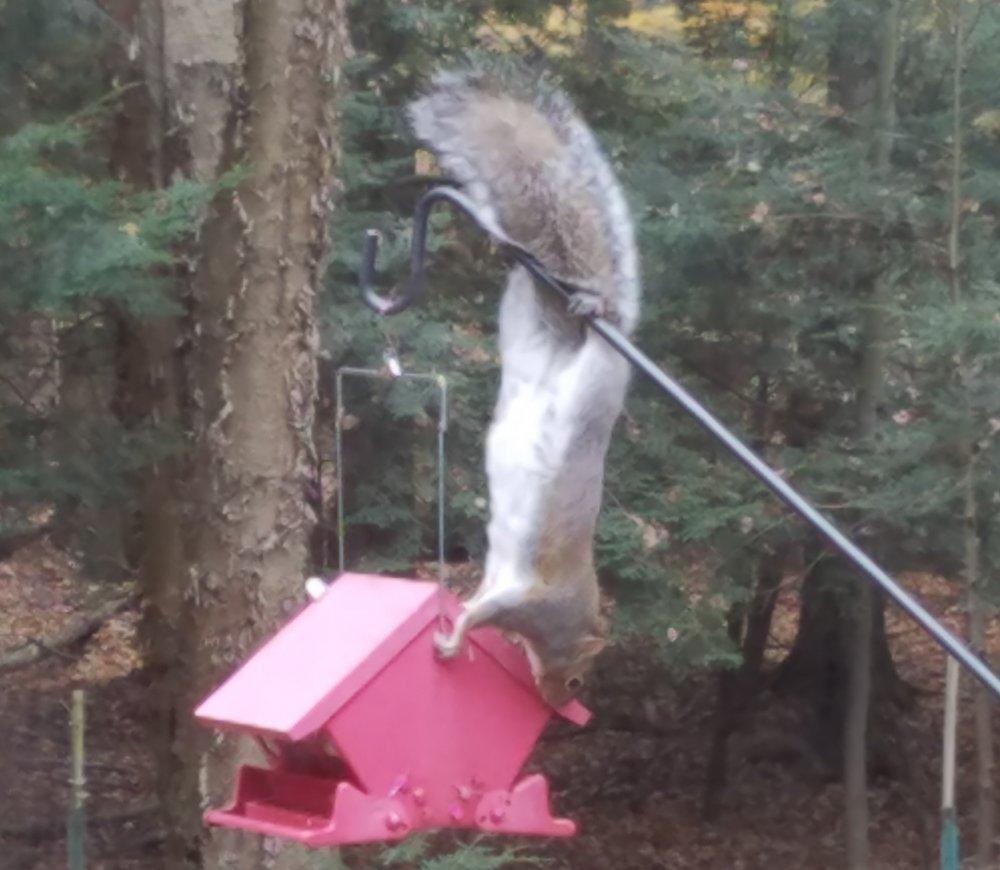 squirrel at feeder.jpg