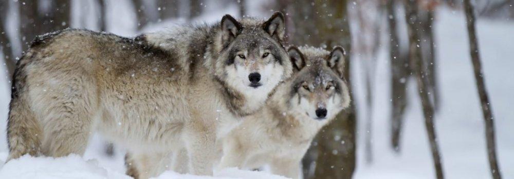 Wolf-1-1090x380.jpg