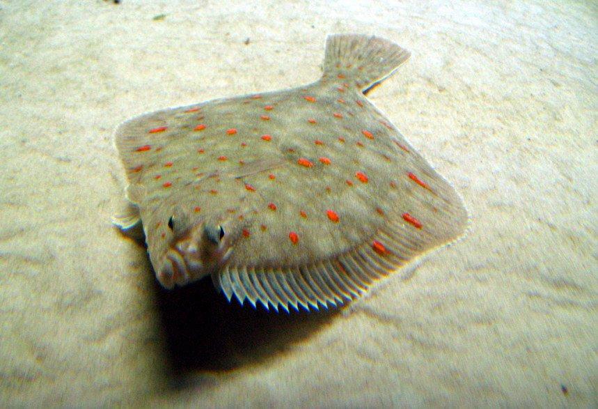 plaice-swims-pic.jpg.7a643e00f8b280cdd3fa792c43877652.jpg