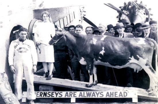 elm-farm-ollie-first-flying-cow.jpg.a14eea42d5a0c374a8100f746f7b60cc.jpg