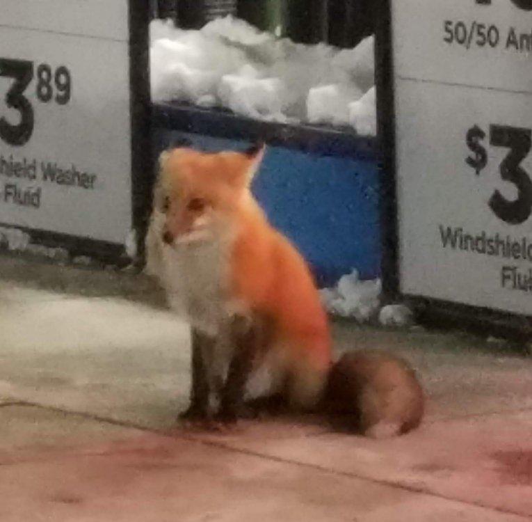 fox.thumb.jpg.80954d9cc69891e302dbffbcdc3590a5.jpg