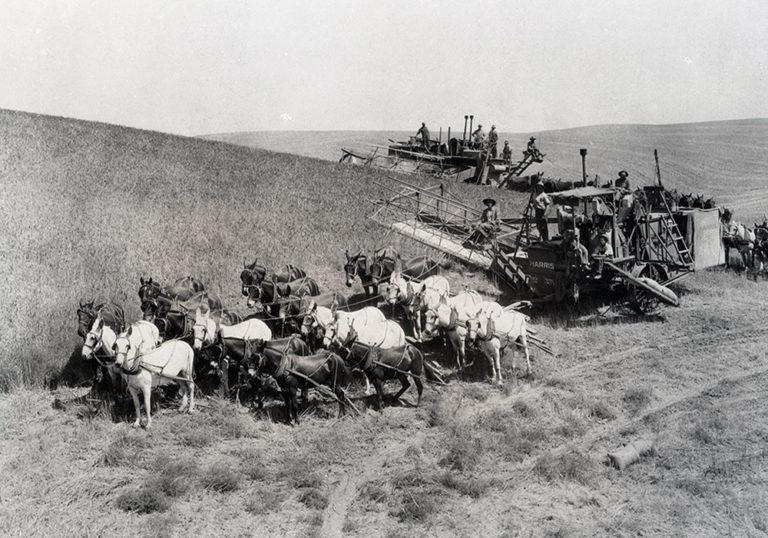 old-wheat-harvest-768x538.jpg